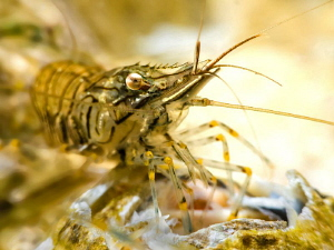 Shrimp super-macro by Paul Colley